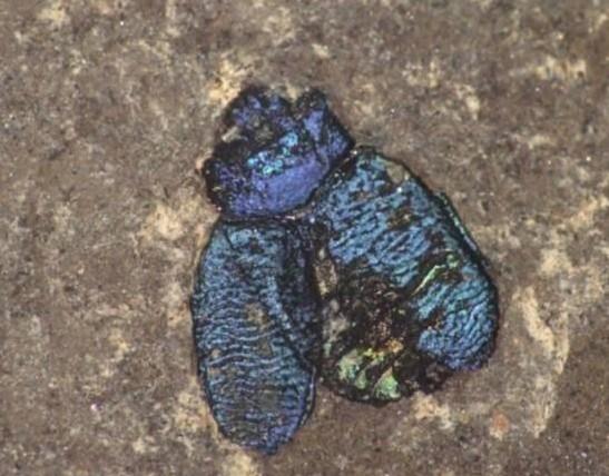 4700万年前奇特甲虫化石:外壳颜色鲜艳未变