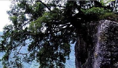 开县雪宝山发现一株300年树龄的崖柏