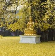 中国最美银杏树